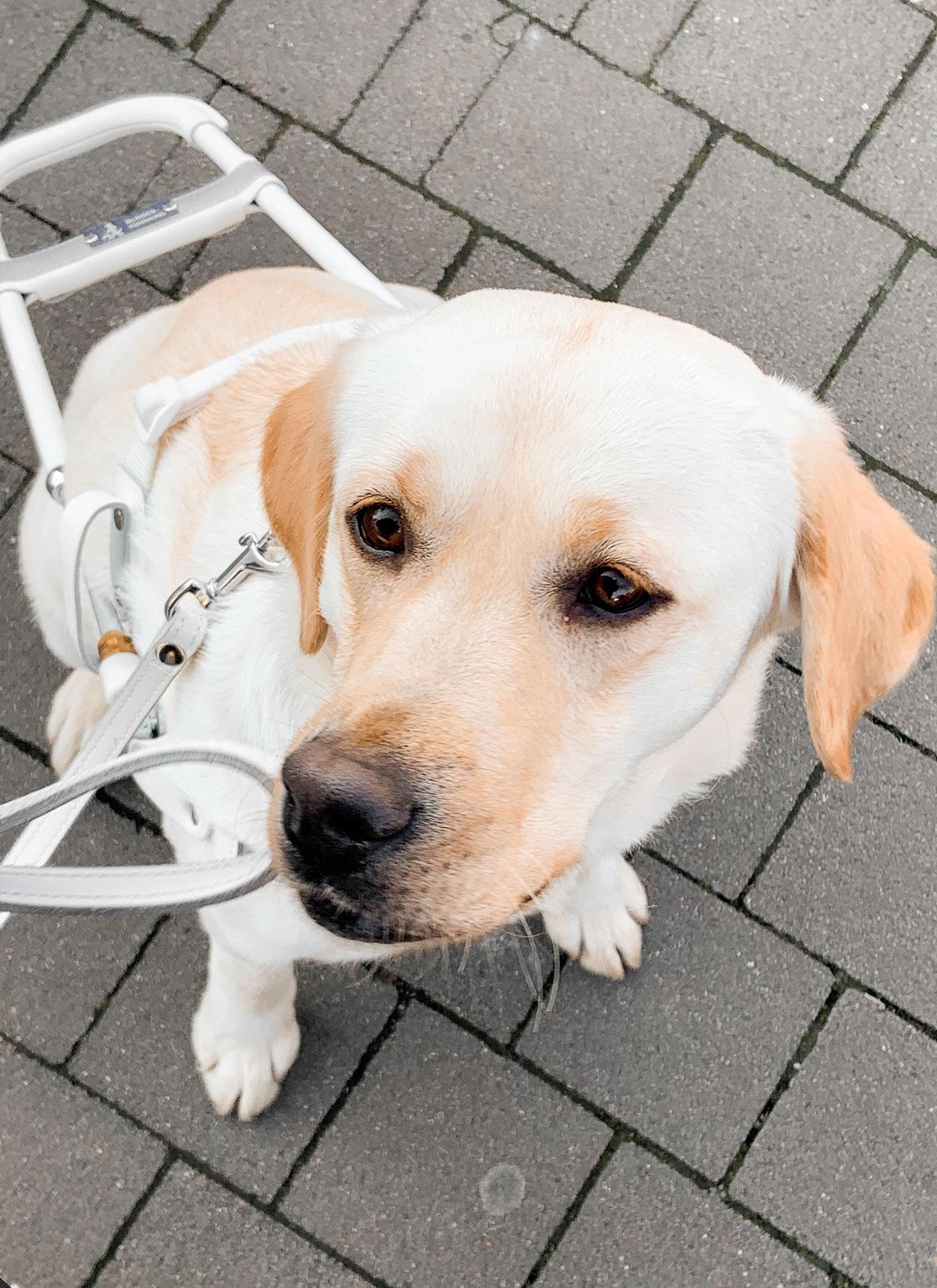 Blindenführhund Labrador Caputo Erwitte