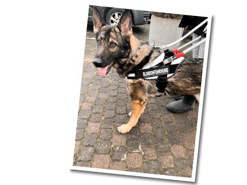 Schaeferhund_in_Blindenfuehrhundausbildung